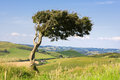 Single tree top windswept hill surrounded lush dorset countryside england uk Royalty Free Stock Photo