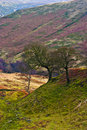 Single trees in the hills, Peak District. Stock Image