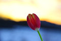 Single tulip on blurry background Royalty Free Stock Photo