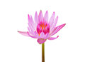 Single water lilly flower beautiful pink lotus isolated on white background Royalty Free Stock Photo