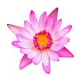 Single water lilly flower beautiful pink lotus isolated on white background Royalty Free Stock Image