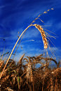 Single wheat ear against blue sky Royalty Free Stock Photos