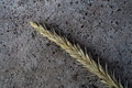 Single wheat spike Royalty Free Stock Photo