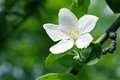 Single white apple tree flower Royalty Free Stock Photography
