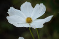 Single white cosmo flower in nature Royalty Free Stock Photo