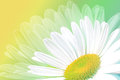 Single white daisy on green and yellow petals background Stock Photography