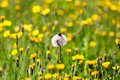 Single white dandelion with insect on background of yellow young dandelions and green grass Royalty Free Stock Photo