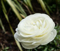 Single white rose in a garden Stock Photos