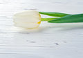 Single white tulip on wooden background Royalty Free Stock Images