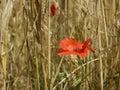 Single wild poppy in corn field Royalty Free Stock Photo