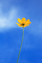 Single yellow flower with clear blue sky background Royalty Free Stock Photo