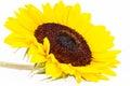 Single Yellow  Flower Of Sunfl...