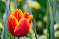 Single Yellow laced Red Tulip Green Background Royalty Free Stock Photo