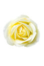 Single yellow rose isolated on white Royalty Free Stock Photo