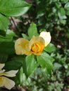 A single yellow rose Royalty Free Stock Photo
