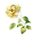 Single yellow rose on white background Royalty Free Stock Photo