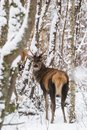 Single Young Noble Red Deer Cervus Elaphus With Beautiful Horns Among Snow-Covered Birch Forest. European Wildlife Landscape Wit Royalty Free Stock Photo