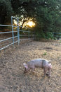 Single young pink dirty domestic pig with cute curly tail, one hoof raised entire pet pig visible, sunset light Royalty Free Stock Photo