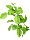 Single young sprout apple tree green leafs isolated white background close up studio photography Stock Photo