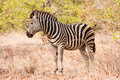 Single zebra standing in the bush Stock Photo