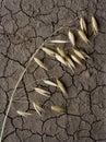 Singolo orecchio dell'avena sul terreno di siccità Immagine Stock