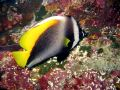 Singular Bannerfish Royalty Free Stock Photography