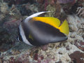 Singular bannerfish in bohol sea phlippines islands Stock Image