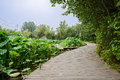 Sinuous planked path around lotus pond in cloudy summer Royalty Free Stock Photo