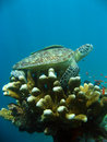 Sipadan turtle reef cleaning station Stock Photo