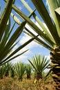Sisal agave sisalana plantation in tanzania Stock Images