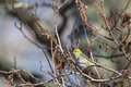 Siskin bird on a tree branch Royalty Free Stock Images