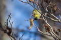 Siskin bird in a tree in spring Stock Images