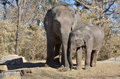 Sister elephants two asian elephant sisters cuddle Royalty Free Stock Photos