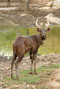 Sitatunga Royalty Free Stock Photography