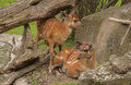 Sitatunga it is image of two young sitatungas in zoo Stock Image