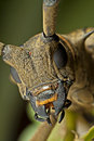 Site view of the Long-horned beetle face Stock Photography
