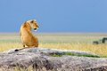 Siting Alone Simba Royalty Free Stock Photos