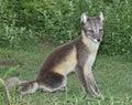 Sitting Arctic Fox Royalty Free Stock Photo