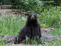 Sitting bear black brown phase on a log Royalty Free Stock Image