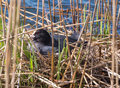 Sitting bird eurasian coot or fulica atra on eggs Stock Photo