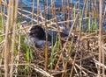 Sitting bird eurasian coot or fulica atra on eggs Stock Photo