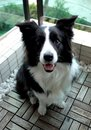Sitting black and white border collie pet dog on balcony Royalty Free Stock Photo