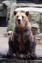 Sitting brown bear in the zoo Royalty Free Stock Image