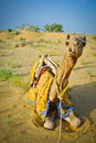 Sitting Camel Stock Photo