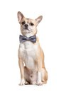 Sitting doggy with bow tie grey isolated on white Stock Photos