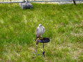 Sitting Falcon.