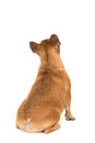 Sitting french bulldog dog seen at its back looking up isolated Royalty Free Stock Photo
