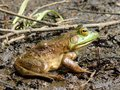 Sitting frog in the mud on the side of a pond Royalty Free Stock Photography