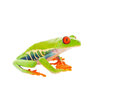 Sitting frog a red eyed tree shot on white background Stock Image