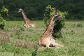 Sitting giraffes two in the arusha national park in tanzania Royalty Free Stock Images